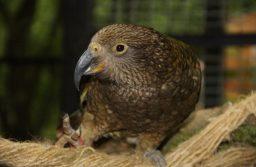 Új-zélandi kea, a világ egyetlen alpesi papagája, a kihalással néz szembe
